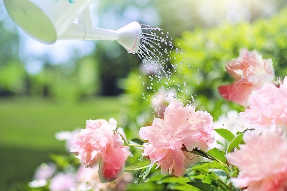 pink flowers watering can