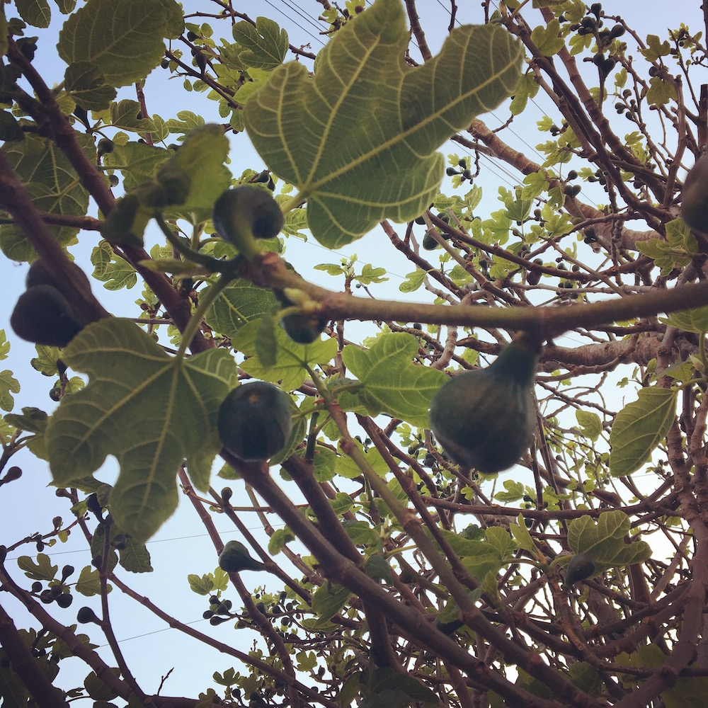fig tree blue sky