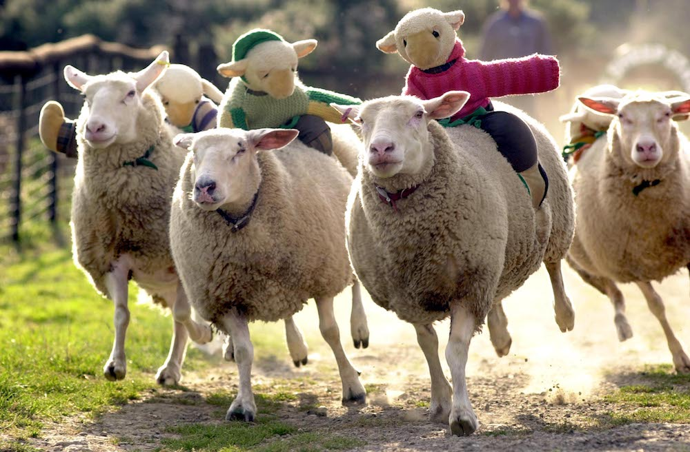 sheep racing with teddies