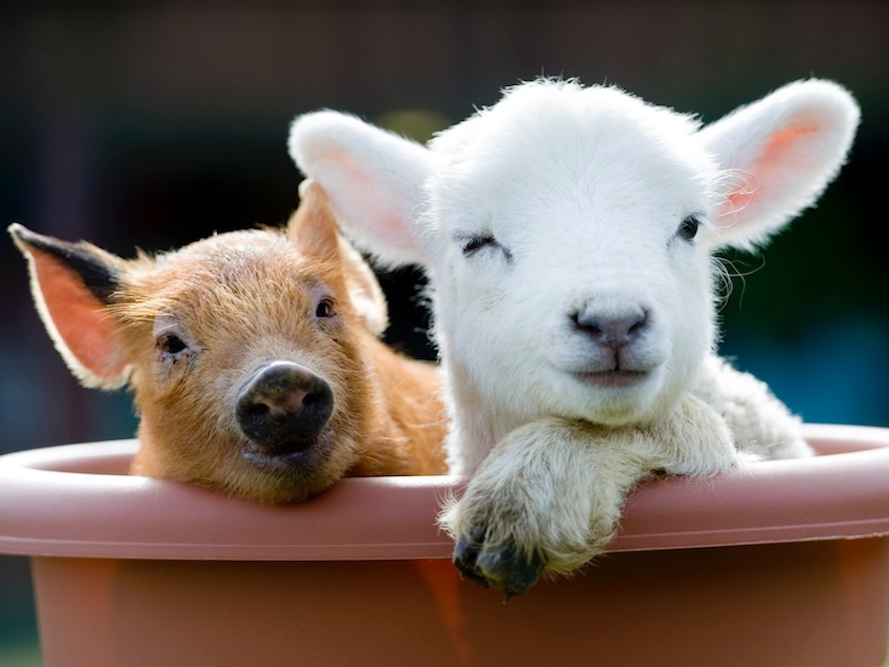 lamb and piglet