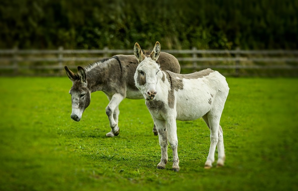 two donkeys in a field
