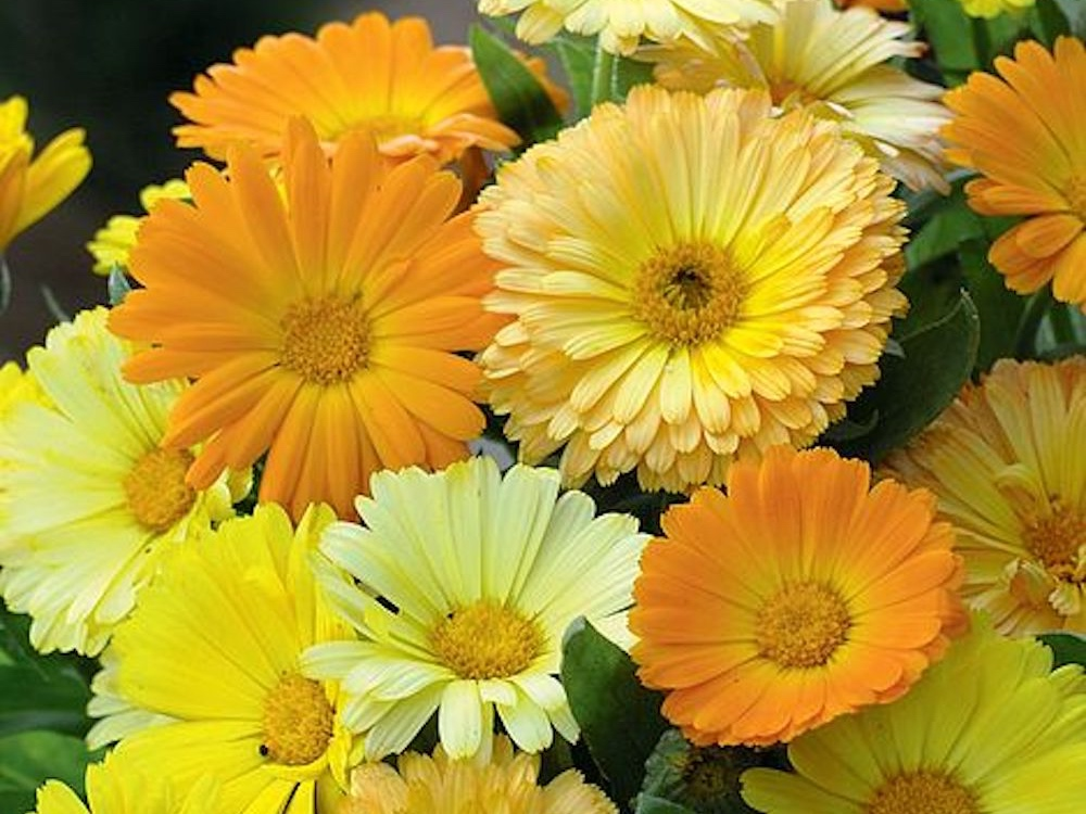 yellow and gold marigolds