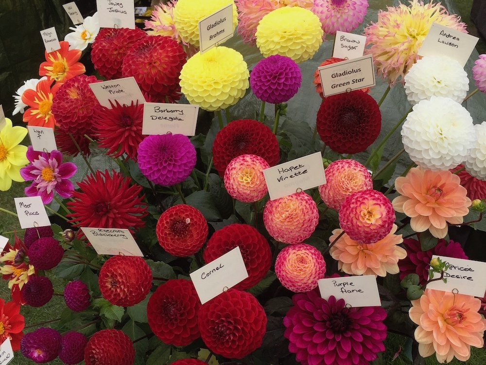 pink red yellow and white Dahlias